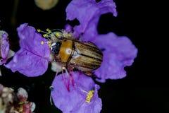 Pluskwa na kwiacie Obraz Stock