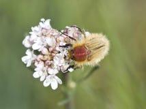 Pluskwa na kwiacie w wiosny roślinie. Zdjęcie Stock