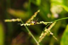 Pluskwa na trzonie roślina Obrazy Stock