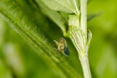 Pluskwa na zielonej roślinie Obrazy Royalty Free