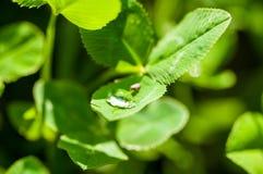 Pluskwa pije od kropli woda na zielonej trawie po tym jak deszcz, makro- fotografia obraz royalty free