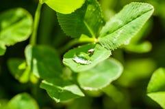 Pluskwa pije od kropli woda na zielonej trawie po tym jak deszcz, makro- fotografia fotografia royalty free