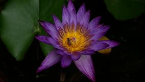 Pluskwy łasowania pollen purpurowy lotosowy kwiat zdjęcie wideo