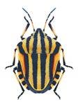 Pluskwy Graphosoma lineatum zdjęcia stock
