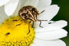 Pluskwy i komarnicy obsiadanie na płatku kwitnie Zdjęcia Stock