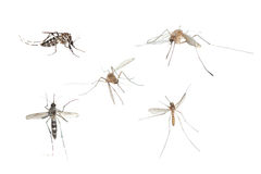 pluskwy insekta komara se Fotografia Royalty Free