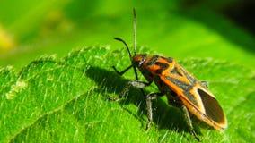 pluskwy ladybird liść życie zdjęcie royalty free