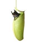 pluskwy miotacza roślina zdjęcie stock