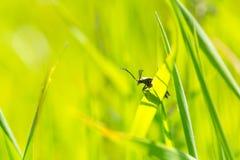 Pluskwy obsiadanie na trawy ostrzu Zdjęcia Stock