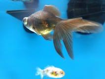 Pluskwy oka ryba Obraz Royalty Free