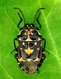 Pluskwy Stenozygum coloratum zdjęcie royalty free