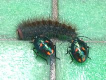 Pluskwy versus gąsienica Zdjęcia Royalty Free