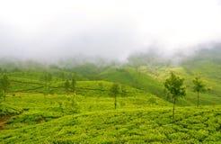 Pluszowi skłony Herbaciani wzgórza w mgle zdjęcia stock