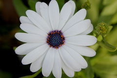 Pluvialis Dimorphotheca, маргаритка Вол-глаза, маргаритка накидки Стоковые Изображения