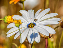 Pluvialis Dimorphotheca Στοκ φωτογραφία με δικαίωμα ελεύθερης χρήσης
