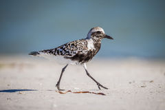 Pluvialis squatarola, Black-bellied Plover Royalty Free Stock Images