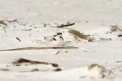 Pluvier de Milou sur la plage Images stock
