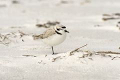 Pluvier de Milou sur la plage Photographie stock libre de droits