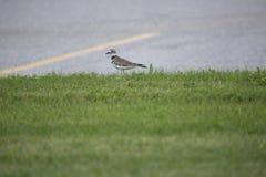 Pluvier sur l'herbe Photographie stock