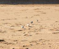 Pluviers sur la plage Image stock