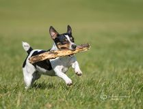 Playfull Dog fetching a stick. Jack Russel retrieving a stick for its owner against a green background stock photos