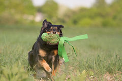 Plying Dog Royalty Free Stock Images