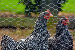 Plymouth Rock chicken Royalty Free Stock Images