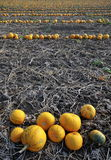 Pmpkin rows Stock Photography