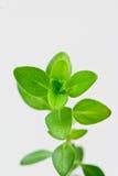 pnąca świeża zielarska macierzanka Fotografia Royalty Free