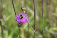 Pnącego osetu Cirsium arvense z bumblebee na flowe Fotografia Royalty Free