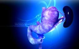 Páncreas y bazo Fotografía de archivo