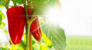 Pneus rouges de paprika dans le jardin Image libre de droits