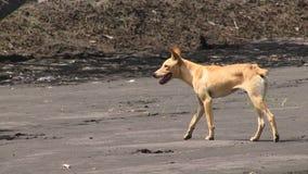 Rabaul Papua New dog dingo. PNG animal dog looks like dingo Australia stock video