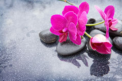 Pnk orchids and black stones close up. Stock Photos