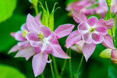 Pink and White Columbine Flower Blossoms. Early morning blossoms of pale pink and white columbine flowers looking towards the rising sun surrounded by lime green royalty free stock images