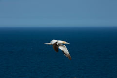 Północni gannets Fotografia Stock