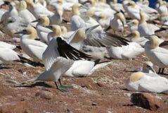 północni koloni gannets Zdjęcie Stock