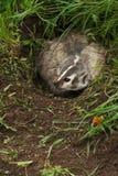 Północnoamerykańscy borsuka Taxidea taxus zwroty w melinie Zdjęcie Stock