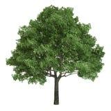 Północnoamerykański Dębowy drzewo Odizolowywający Obrazy Royalty Free