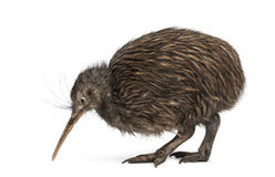 Północny Wyspy Brown Kiwi, Apteryx mantelli Fotografia Stock