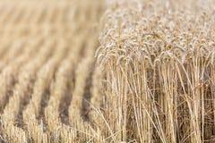 Połówka zbierający pszeniczny pole zdjęcia stock