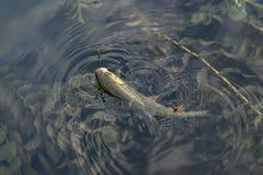 Połowu tło złapany kleń ryba trofeum w wodzie zdjęcia royalty free