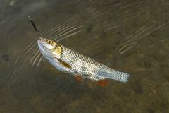 Połowu tło złapany kleń ryba trofeum w wodzie obrazy stock