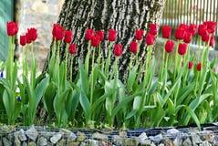 Poço da árvore com as tulipas de florescência vermelhas Fotografia de Stock Royalty Free
