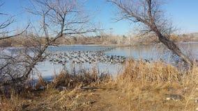 Połówka marznący jezioro z 100 & x27; s gąski Fotografia Stock