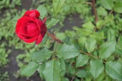 Połówka otwierający czerwony kwiat wzrastał Zdjęcie Stock