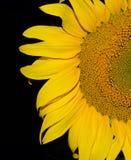 Połówka słonecznik na ciemnym tle Zdjęcie Royalty Free