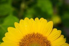 Połówka słonecznikowy okwitnięcie w pięknym świetle dziennym Obraz Stock