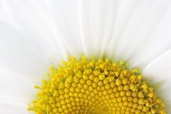połowa daisy zdjęcia royalty free