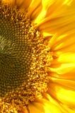 połowa słonecznik Fotografia Royalty Free
